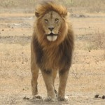 Touraco Tours and Transfers - lion