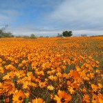 Namaqua Wildblumentour