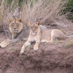 Touraco Travel Services - Löwenpärchen - Krüger Park Safari in deutsch