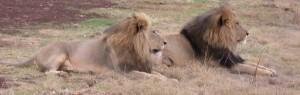 Touraco Travel Services - Löwenmännchen - Krüger Park Safari mit Blyde River Canyon