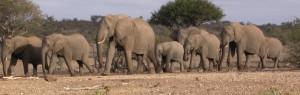 Touraco Travel Services - Elefanten im Tuli Block