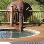 Touraco Tours - Elephant am Pool - Madikwe Nationalpark Safari