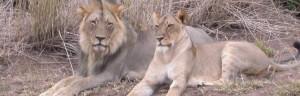 Madikwe Nationalpark - Löwen