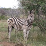 Touraco Tours and Transfers - Zebra im Pilanesberg National Park
