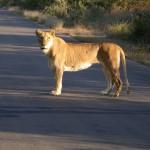 Touraco Travel Services - Löwenweibchen - Krüger Park Safari