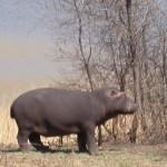 Touraco Travel Services - Flusspferd - Krüger Park Safari