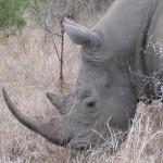 Breitmaul Nashorn