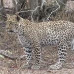 Touraco Tours - Krügertour - Leopard