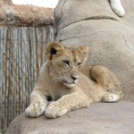 Touraco Löwenbaby