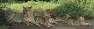 Touraco- Botswana Löwenfamilie
