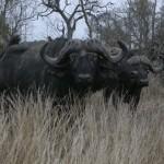 Touraco Tour - Krügerpark - Büffel