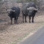 Touraco Travel Services - Büffelbullen - Krüger Park Safari