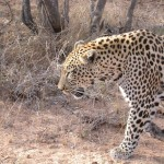 Touraco Travel Services - Leopard - Krüger Park Tour