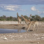 Touraco Travel Services - Giraffen in Etosha