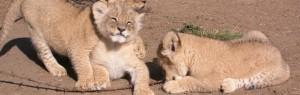 Touraco Travel Services - junge Löwen - Südafrika Reisen