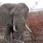 Touraco Travel Services - Elefantenbulle - Krüger Park Safari mit Blyde River Canyon - Krüger Park Safari in deutsch