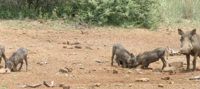 Krüger Park Safari mit Blyde River Canyon 5 Tage