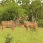 Touraco Travel Services - Krüger Park Safari mit Blyde River Canyon Tour - Kudubullen