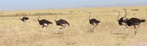 Touraco Travel Services - Strausse - Grosse Namibia Tour