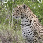 Touraco Tours - Leopard in Madikwe