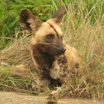 Touraco Tours - Wildhund - Madikwe Safari