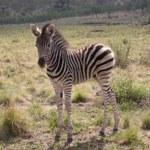 Touraco Tours - Zebrafohlen - Madikwe Nationalpark