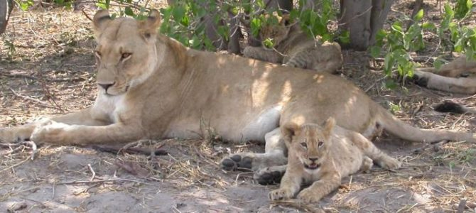 Botswana Wildparks – Unterkunft Safari – 14 Tage