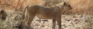 Kgalagadi Safari mit Touraco Travel Services - Pretoria, Südafrika